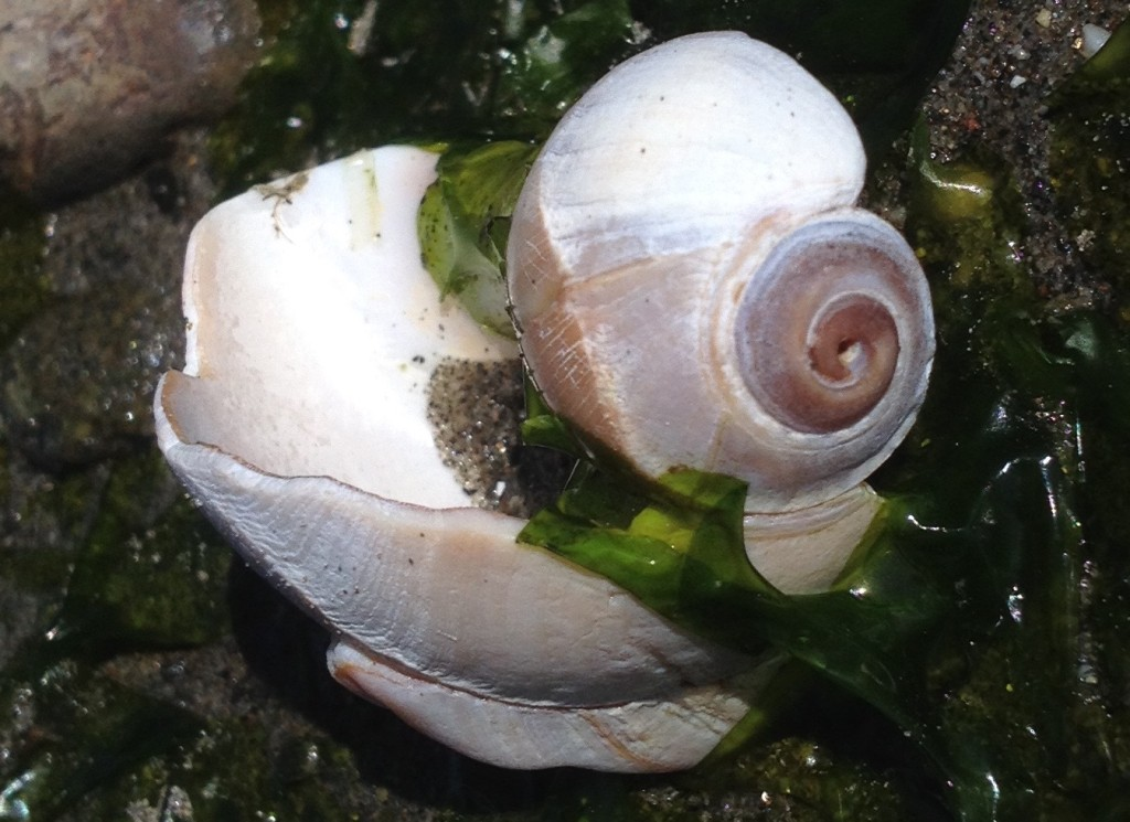 moon snail shell